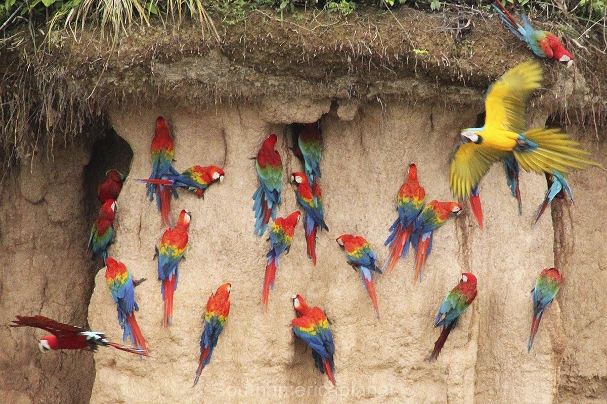 macaw-clay-licks-one-of-the-most-spectacular-sights-in-the-amazon-029
