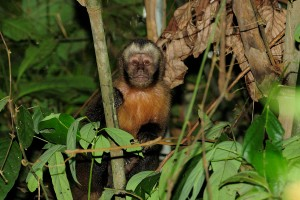 105. Brown capuchin monkey near Pantiacolla Lodge