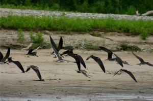 28. Black Skimmers flying over the river