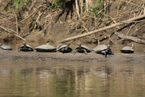 42. Yellow-spotted side-necked turtles on a log og the Manu River
