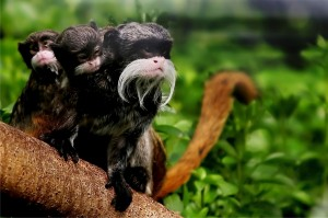 52. The emperor tamarin, one of the smaller Neotropical mokey species