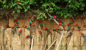 83. Red-and-green macaws at the Blanquillo clay lick