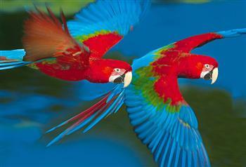 Aras & Explorama or Ceiba jungle lodge 4 days Iquitos canopy walk ...