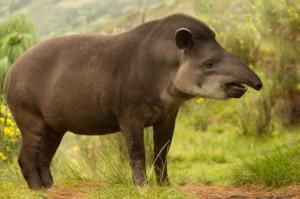 Tapir1-640x426