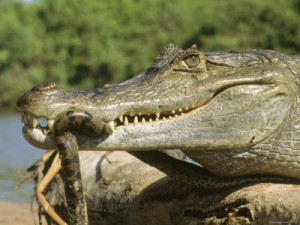 a-spectacled-caiman-eats-an-anaconda-in-venezuela