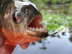 pacaya-samiria-national-reserve-piranha