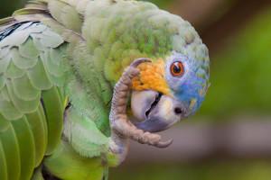 queen-violeta-parrot